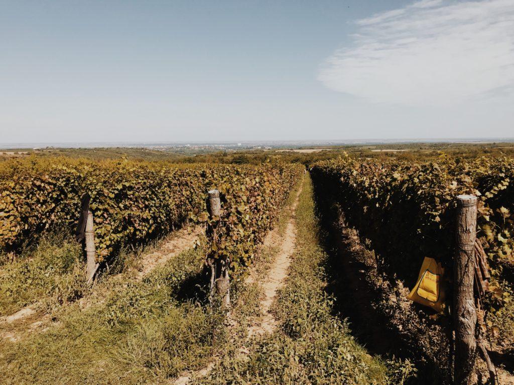 Aerial view, Ilok vineyard, landscape vineyard south west of Croatia, Europe