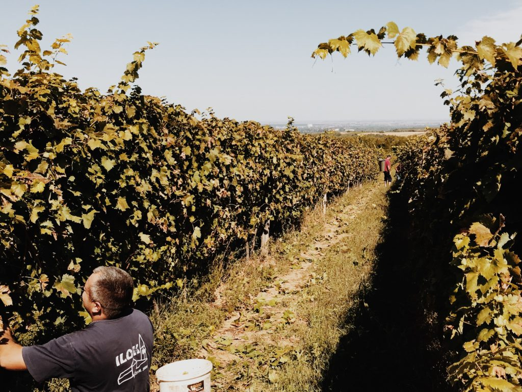 Hand picking red wine grapes during harvest