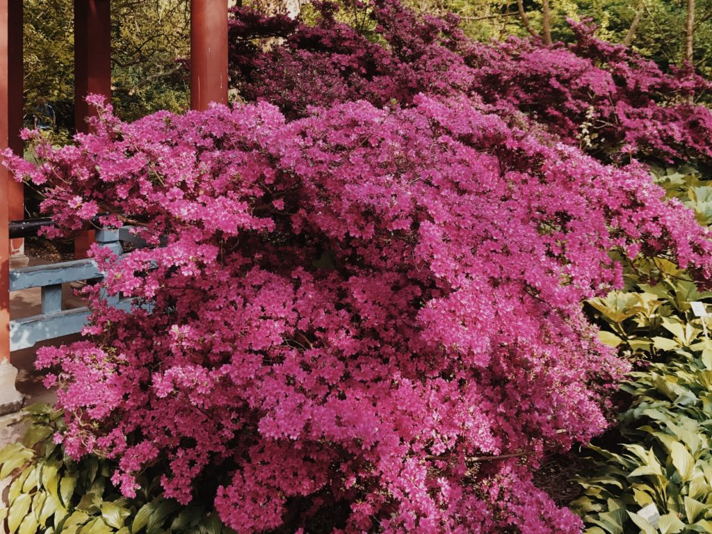 Pink Flowering Bush, Spring Nature