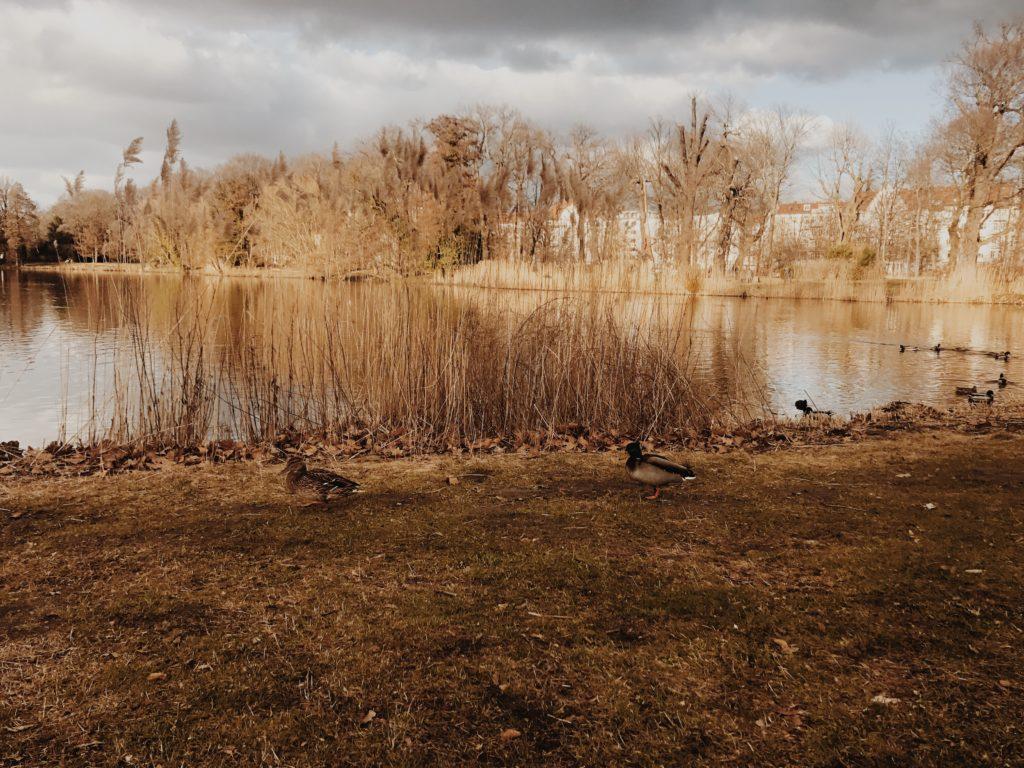 Duck Lake Nature Water Animal